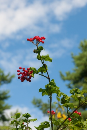 guelderrose: Branches of a ripe guelder-rose against the sky