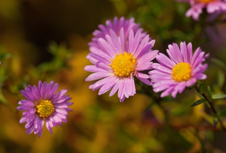 Purple chrysanthemums in a garden close up photo