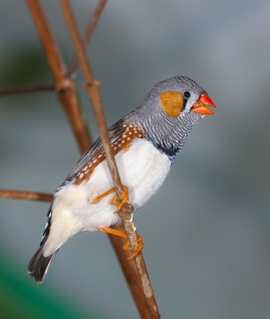 The singing zebra-finch on a branch close up (Taeniopygia guttata) photo