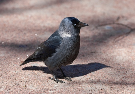 Portrait of a jackdaw in sunny day close up photo