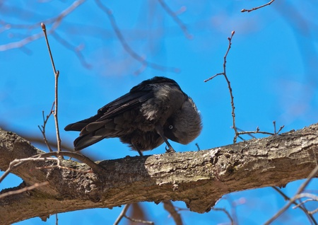The jackdaw on a spring tree cleans feathers Stock Photo - 11863404