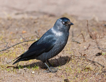monedula: Portrait of a jackdaw in the spring close up Stock Photo