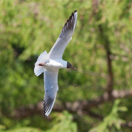 larus ridibundus: Seagull in flight against foliage (Larus ridibundus)