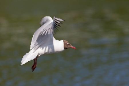 larus ridibundus: Seagull in flight against water (Larus ridibundus) Stock Photo