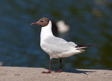 larus ridibundus: Seagull against water on a parapet (Larus ridibundus) Stock Photo