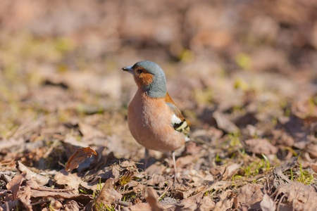 warblers: The chaffinch in the spring on the fallen down last years leaves Stock Photo