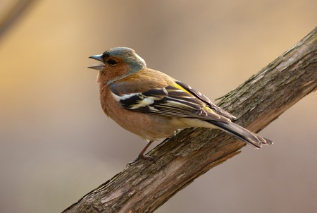 warblers: The singing chaffinch on a branch close up