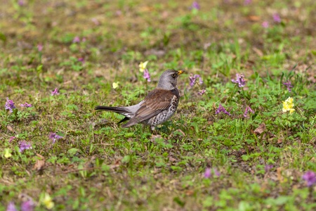 fieldfare blackbird in the field with flowers in the spring photo