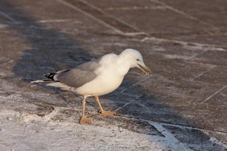 booty: Seagull on sidewalk with booty in a beak