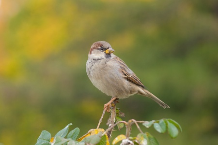Sparrow on a bush branch in autumn park photo