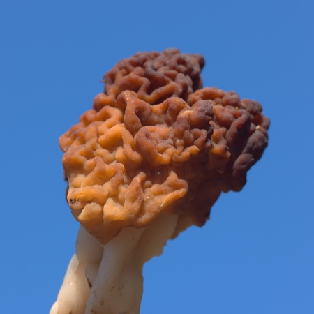 conditionally: Conditionally edible fungi Gyromitra esculenta close up against sky Stock Photo