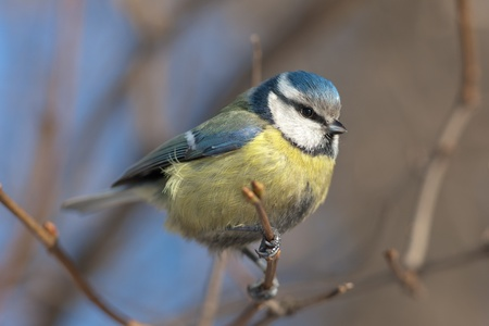 Portrait of the bluetit on tree branch close up photo