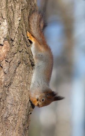 The squirrel on a tree trunk headfirst Stock Photo - 12524980