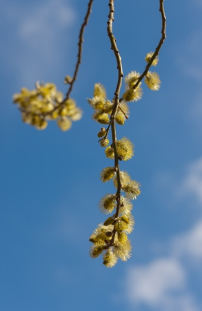 Branches of a willow in the spring against the sky photo