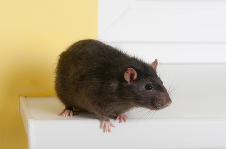 sill: domestic rat on a window sill close up Stock Photo