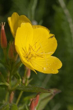 oenothera biennis: Oenothera biennis in the summer close up