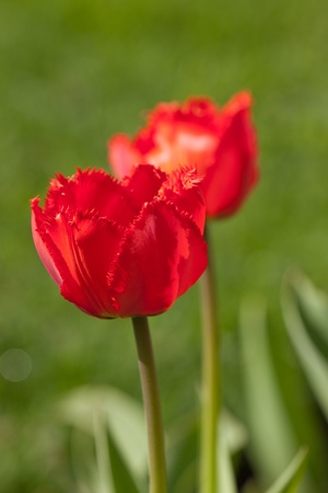 red tulips in the spring on a green background Stock Photo - 13639710