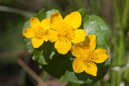 palustris: Blossoming Caltha palustris in spring  wood close up Stock Photo