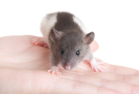 very small young rat on a palm, isolated photo