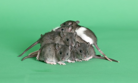 it is a lot of young rats on a green background Stock Photo - 13823228