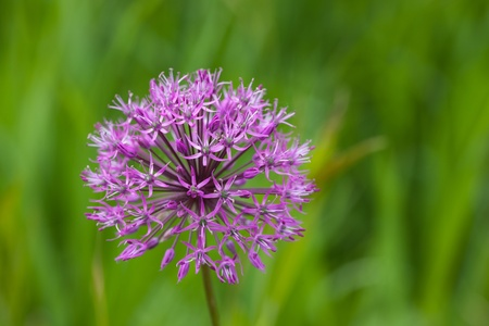 allium close up on a green background photo