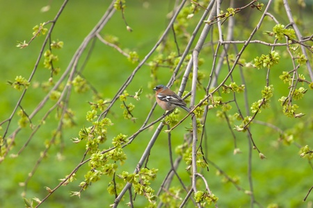 the chaffinch on branches of a spring tree photo