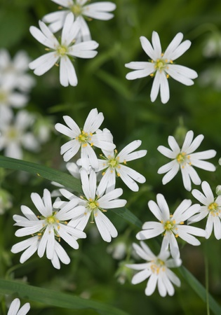 chickweed: background from white wood flowers in the summer
