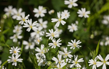 chickweed: chickweed flowers in the wood close up Stock Photo