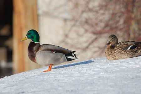 two ducks on snow in a sunny day photo