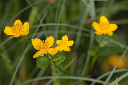 palustris: Caltha palustris in the wood close up among a grass