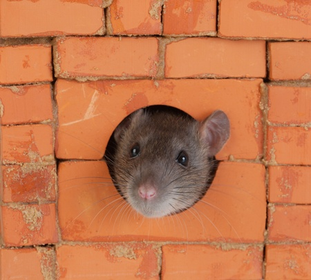 the rat looks out of a window in a brick wall photo