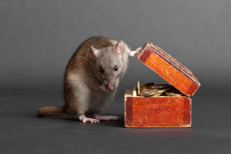 money box: domestic rat with an old box of money Stock Photo