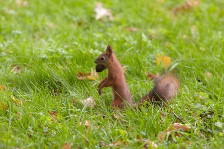 squirrel with a big nut among an autumn grass photo