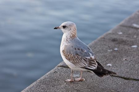 parapet: Portrait of a seagull on a parapet at the river