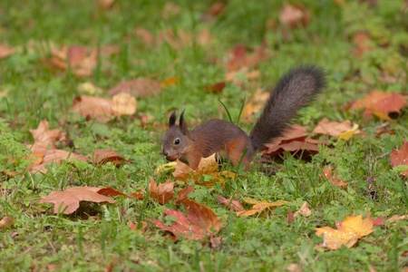 the squirrel hides a nut in a grass in the autumn photo