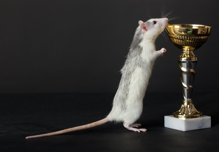 curious young rat looks in the cup photo