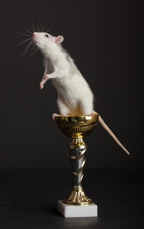 curious young rat is on golden Cup photo