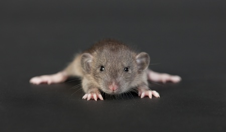 portrait of a very young rat on a black background Stock Photo - 16580151