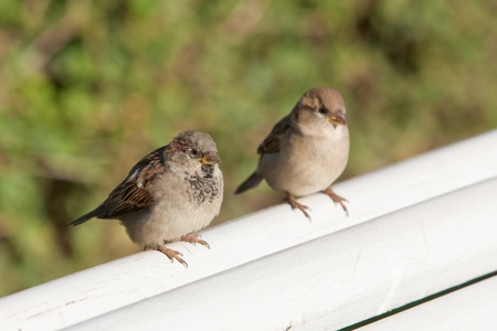 two sparrows sitting on a white bench photo