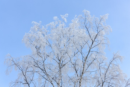 birches crowns against the sky on a cold winter day photo