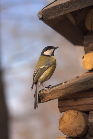 parus major: great tit (Parus major) on a wooden scaffold closeup