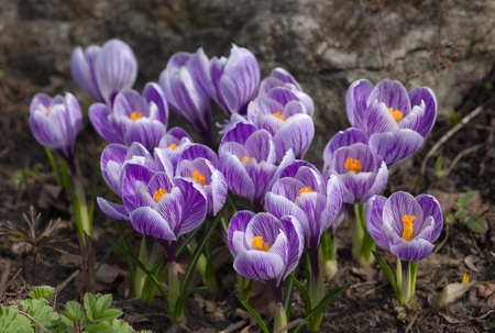 purple crocuses in spring day, top view photo