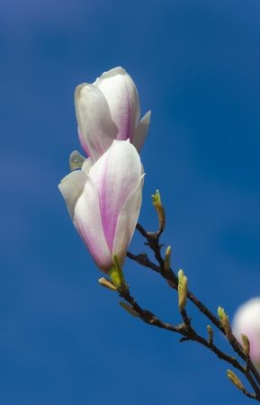 Spring blooming magnolia branch against the sky photo