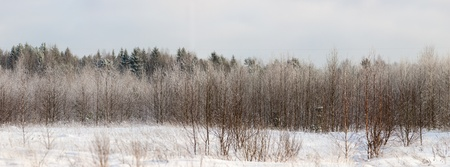 Edge of the winter mixed forest, panorama photo