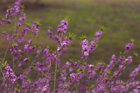 branches of bush blooming daphne in spring Stock Photo - 17960508