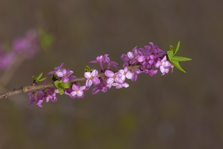 dafne: Fioritura daphne vicino in primavera