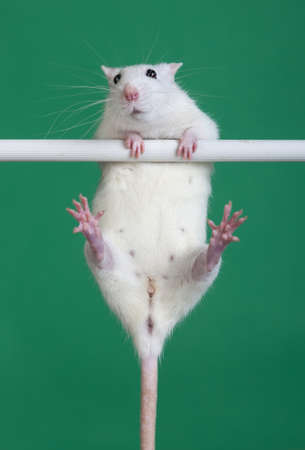 white domestic rat hanging on the bar photo