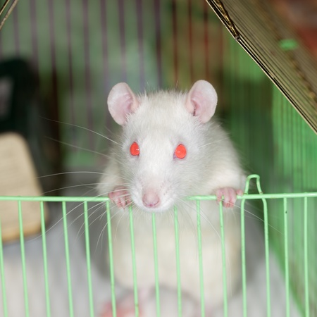 Portrait of a white domestic rat in a cage photo