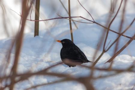 blackbird hiding in the bushes in the winter Stock Photo - 18510716
