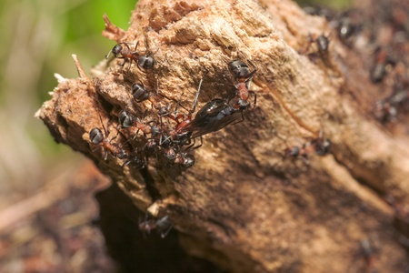 ameisenhaufen: Anthill auf einem Baumstamm Nahaufnahme Lizenzfreie Bilder